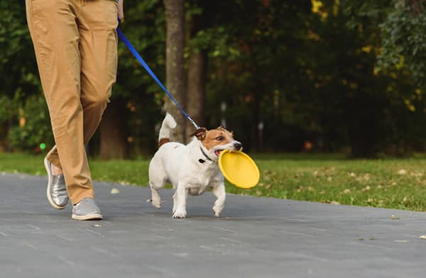 Well behaved dog walking on a leash carrying a frisbee