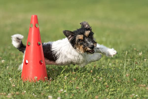 dog running an obstacle course