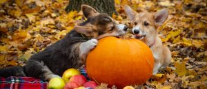 two puppies with pumpkin